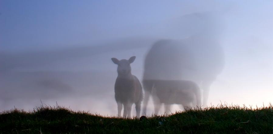 schapen in de schemer